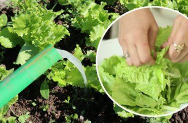 Головні правила вирощування салату на городі, щоб був великий та смачний