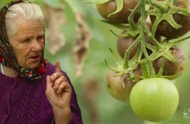 Ніколи не допускайте цих помилок, щоб не втратити врожай помідорів