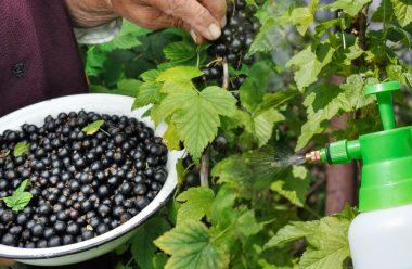 Обробіть цим засобом кущі смородини в травні, щоб ягоди були великі та солодкі