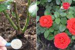 4 корисні поради по догляду за трояндами в травні. Чим підживити, щоб були гарні та великі