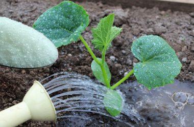 Цукрова підгодівля для огірків: як правильно приготувати та коли поливати, щоб мати гарний врожай