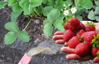 Підгодуйте цим засобом полуницю під час цвітіння, щоб ягоди були великі та солодкі