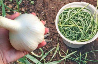 Як доглядати за часником в червні: що потрібно робити, щоб мати великий врожай
