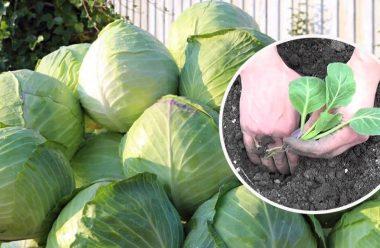 Головні поради, які допоможуть отримати гарний врожай капусти. Має знати кожен городник