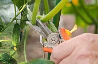 Видаліть всі нижні листки в огірків, щоб не хворіла, а гарно родили. Як правильно це робити