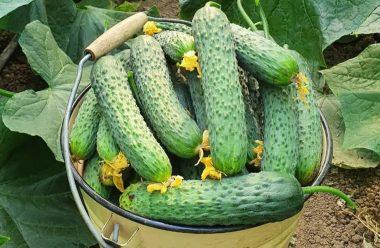 Що люблять огірки. Корисні поради для вирощування огірків