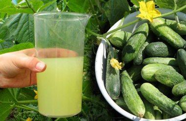 Чим поливати Огірки щоб вони швидше росли. 4 кращі розчини