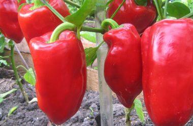 Головні секрети вирощування перцю, щоб був великий та м'ясистий
