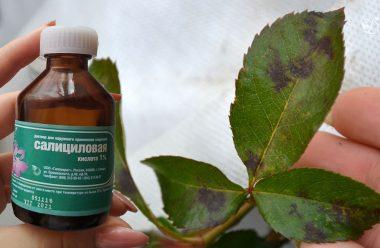 Ефективний препарат для боротьби з чорною плямистістю на трояндах. Результат вас порадує