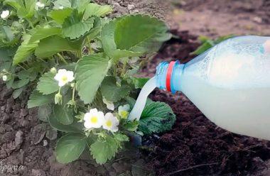 Кращі добрива для полуниці під час та після цвітіння. Не забудьте підживити, щоб мати гарний врожай