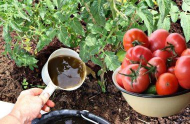 Підгодовую помідори в червні цими добривами, і маю великий врожай