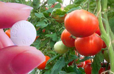 Як за допомогою звичайного аспірину, можна отримати гарний врожай помідорів