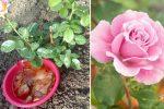 Швидко ростуть та пишно цвітуть: 5 секретів догляду за трояндами