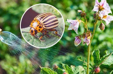 5 простих способів допоможуть позбутися від колорадського жука на своїй ділянці.