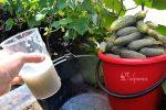 Розчин, яким завжди поливаю огірки, і збираю врожай до пізньої осені