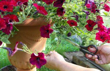 Як правильно доглядати за петуніями влітку, щоб пишно квітнули до осені