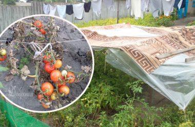 Як допомогти кущам томатів пережити виснажливу літню спеку. Дієві методи