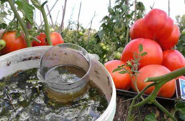Рецепт натурального добрива для помідорів. Швидко ростуть та не хворіють
