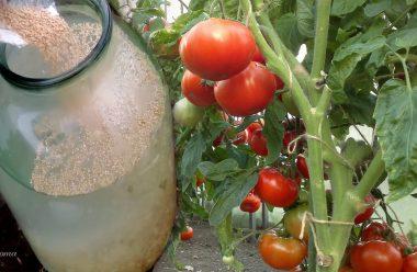 По 3 відра помідорів з куща. А все завдяки цьому розчину