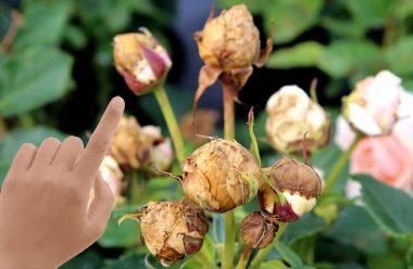 Чому бутони троянд не розпускаються, а засихають. Що треба зробити, щоб вони знову гарно квітнули