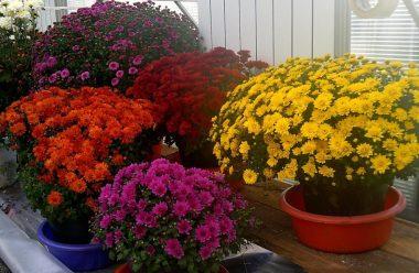 Секрети вирощування хризантем в горщиках, щоб були гарні та довго квітнули