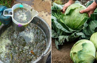 Натуральне добриво, яким слід полити капусту, щоб були великі та міцні качани