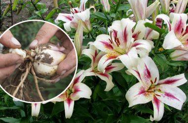 5 дієвих способів, як розмножити лілії. Гарно росте та пишно квітне