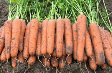 В які дні краще викопувати моркву, та які головні ознаки зрілості