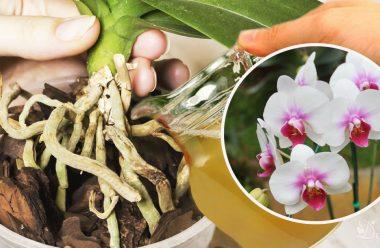 Дієвий засіб, який допоможе омолодити орхідею, та змусить її знову буйно квітнути