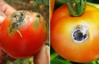 Чому починають гнити помідори, та що слід зробити, щоб не втратити врожай