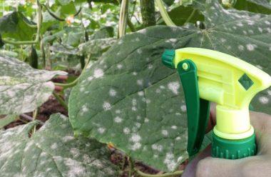 Чим обробити огірки, щоб захистити їх від борошнистої роси. Поради, які допоможуть не втратити врожай