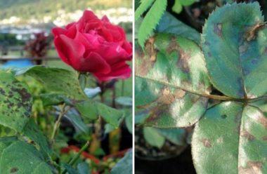 Чому листя троянд вкривається чорними плямами, та як з цим боротися