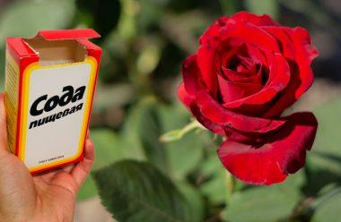 Як за допомогою звичайної соди, можна омолодити кущі троянд. Господині на замітку