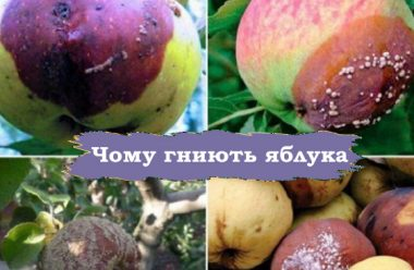 Чому яблука гниють ще на дереві, та що робити, щоб цього не відбувалося