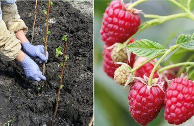 Як правильно садити малину та смородини восени, щоб добре прижилися та гарно розвивалися