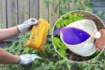 Щоб кущі малини щорічно добре плодоносили, їх слід полити цим добривом восени