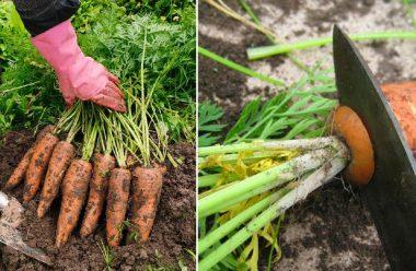 Сприятливі дні у вересні та жовтні для копання моркви, щоб довго зберігалася та не гнила