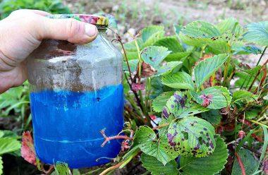 Чим краще підгодувати полуницю у жовтні, щоб добре перезимувала, та гарно вродила у наступному році