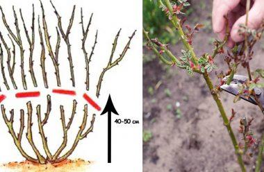 Як правильно обрізати троянди восени, щоб добре перезимували та ще краще квітнули у наступному році