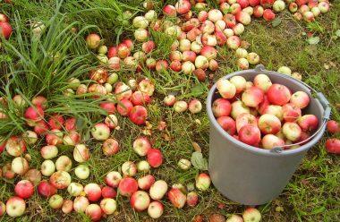 Що можна зробити з опалими яблуками, та яку саме користь вони можуть принести