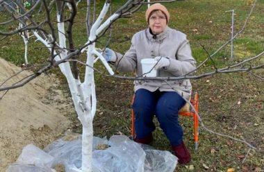 Чому обов'язково потрібно побілити дерева восени, та як правильно це робити