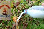 Полийте цим розчином кущі смородини у жовтні, щоб в наступному році мати гарний врожай