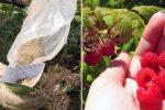 Головні правила осінньої підгодівлі кущів малини, яка допоможе отримати рясний врожай в наступному сезоні