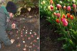 Кожної осені потрібно висаджувати цибулини тюльпанів в ґрунт. Як правильно це робити, щоб добре прижилися