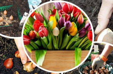 Садимо тюльпани восени. Кілька дієвих порад, як правильно це робити, щоб добре прижилися